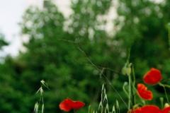 Czerwone maki właśnie tam. Foto: Piotr Bocian