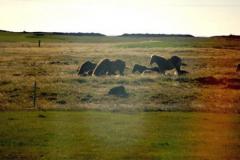Islandzkie koniki,... Foto: Anna Potapowicz
