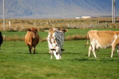 W dawnych wiekach na Islandii krowy były rzadkością i świadczyły o bogactwie rolnika. Foto: Anna Potapowicz