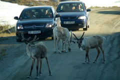 Przy zjeździe z góry drogę zastąpiło nam stadko dzikich reniferów. Foto: Anna Potapowicz