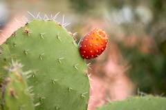 Kaktusy Sycylii. Fot. Anna Potapowicz