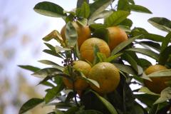 Owoce Sycylii. Fot. Anna Potapowicz